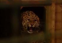 Для искалеченного леопарда, в случае неудачной операции, сделают протез