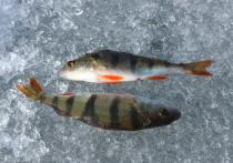 Глава информационного агентства по рыболовству Александр Савельев сообщил, какой вид рыбы может быть опасен для здоровья человека при употреблении в пищу