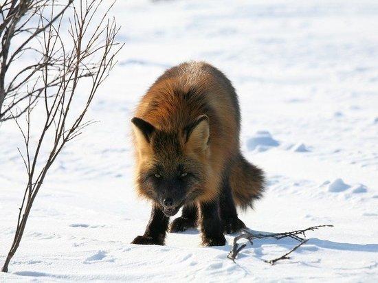 Ночью в городской черте Междуреченска заметили лису