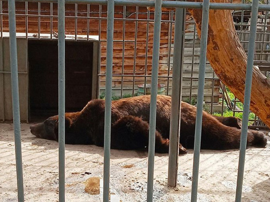 В Этнографическом музее в Улан-Удэ медведи рано проснулись и стали вегетарианцами