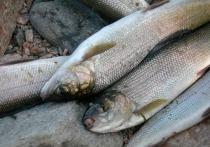 Рыболовецким организациям в Кабанском районе Бурятии стало работать еще невыносимее – с начала года рыбакам разрешили ловить сорогу только в строго отведенных местах