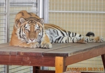 Новосибирский зоопарк отправил амурскую тигрицу арабам