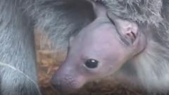 Зооботсад опубликовал видео с новорожденными кенгурятами