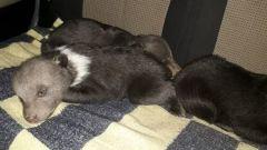 В Бокситогорском районе Ленобласти спасли от замерзания трёх медвежат
