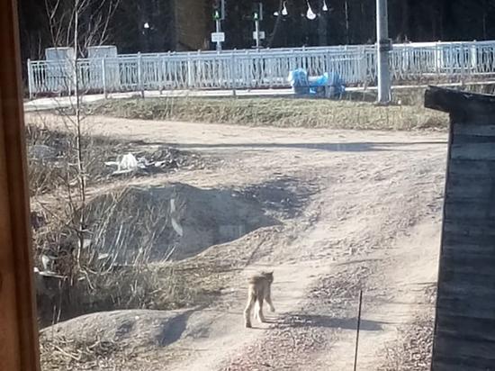Голодная рысь пришла к жителям поселка под Выборгом