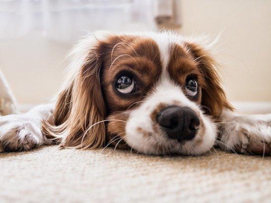 коронавирус у собак опасен