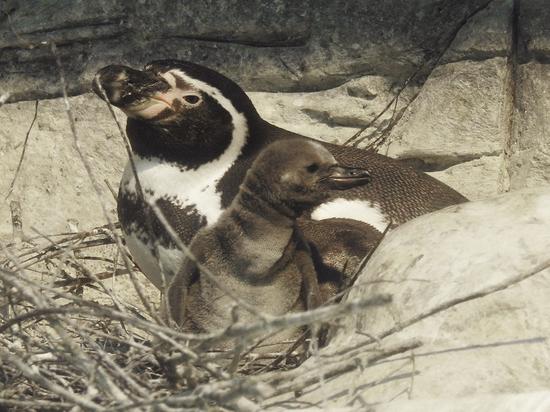 В зоопарке рассказали о будущей «карьере» новорожденных пингвинов Гумбольдта