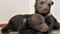 Медвежьи капризы: спасенные в Ленобласти медвежата отказываются кушать