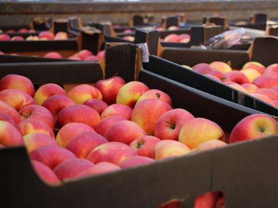 Яблоки из Польши и Германии уничтожили в Дагестане