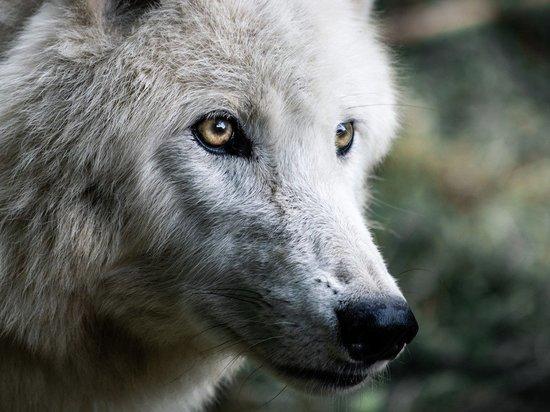 Волка-гиганта застрелили в Башкирии