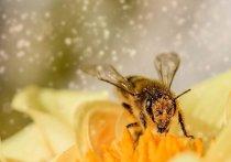 Орловские пчелы оказались заражены паразитами