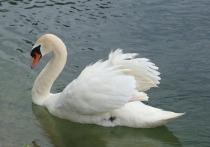 Лебеди, больные птичьим гриппом, могут прилететь на Алтай