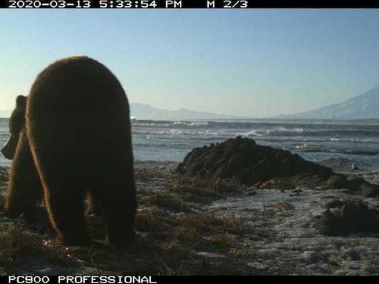 На Камчатке попал в фотоловушку пробудившийся медведь