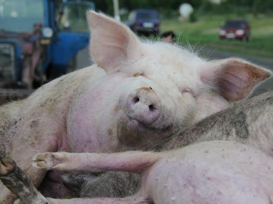 С прибытием: свиньи из Голландии и Норвегии добрались в Ивановскую область хорошо