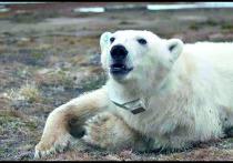 Ученые рассказали о жизни помеченной на острове Вилькицкого медведицы