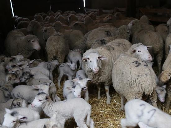 Калмыцкие животноводы подсчитывают первые результаты