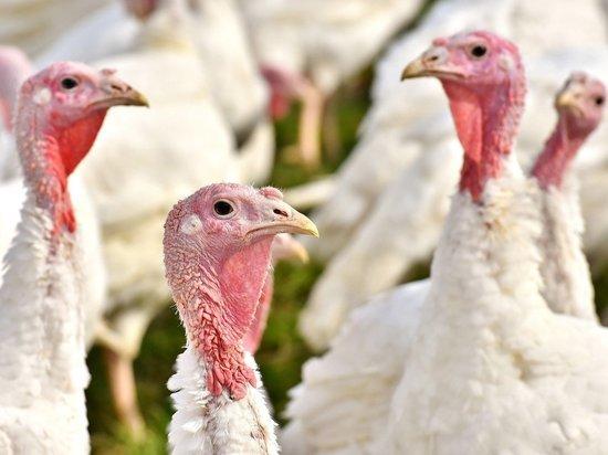 Вспышка птичьего гриппа в Германии: забито 10 000 индюков