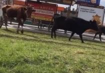 В Северной Осетии зафиксирована волна «коровавируса»