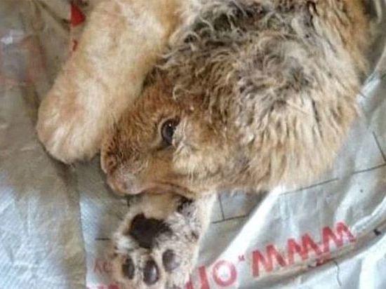 Челябинский ветврач Карен Даллакян спасает умирающего львенка из Дагестана