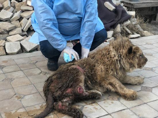 Травма позвоночника, рахит и пролежни: активисты спасли львенка, с которым фотографировались туристы в Сочи