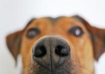 В Великобритании собак обучают вынюхивать коронавирус
