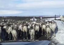 Глава Приуральского района попал в затор из оленей на дороге