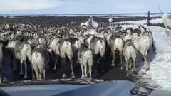 Глава Приуральского района попал в пробку из оленей