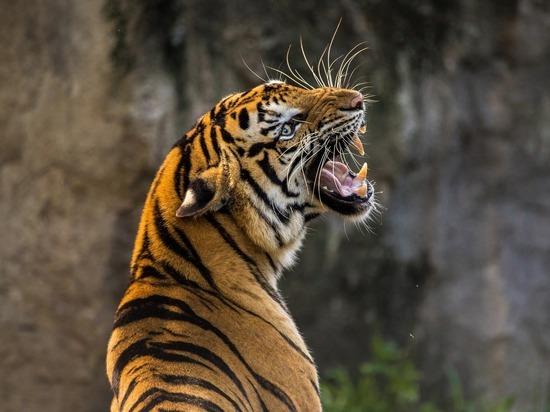 Тигр Майка Тайсона откусил женщине руку