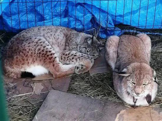 Из-за коронавируса в бродячих цирках голодают животные, дрессировщики устроились грузчиками