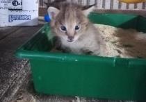 Котят камышовой кошки показали в барнаульском зоопарке