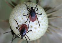 Не только коронавирус: Жителей Хакасии начали атаковать клещи