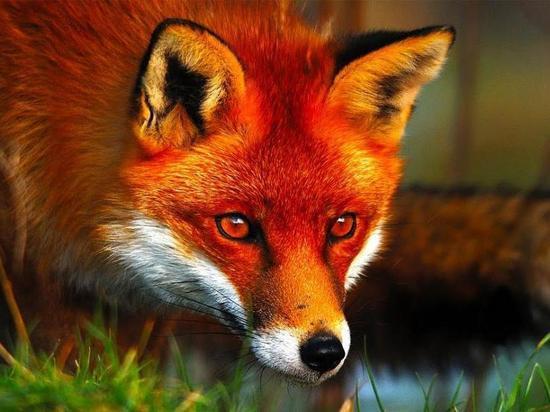 В Хакасии нашли бешеных лисиц