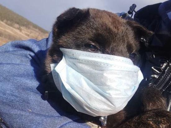 Забайкальского щенка с разорванной петардой пастью лечат в Иркутске