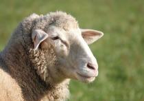 В селе Малый Куналей в Бичурском районе Бурятии сегодня ночью волки задрали овец и несколько угнали с собой
