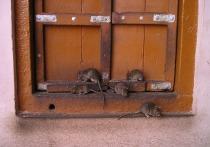 Германия: крысы наступают на города, неся с собой сотни заболеваний