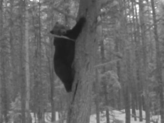 В Архангельской области медведи вышли из зимней спячки