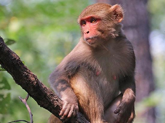 В Москву везут стаю обезьян для испытания вакцины от коронавируса