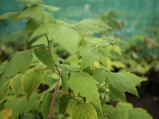 Волгоградский эксперт рассказал, как вырастить саженцы малины из семян