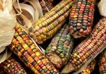 Волгоградцы узнали, чем так полезна кукуруза