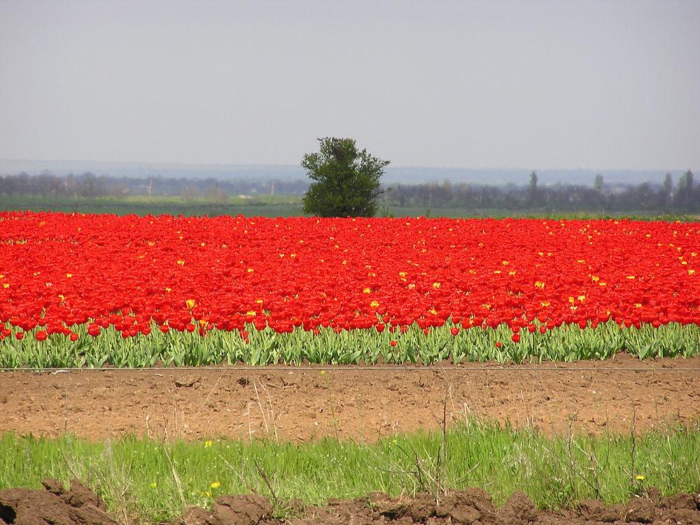Самое большое поле тюльпанов в мире: что стало с Крымской Голландией