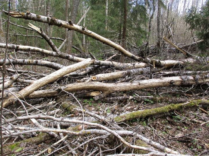 В Тверской области лоси фигурно обглодали осины
