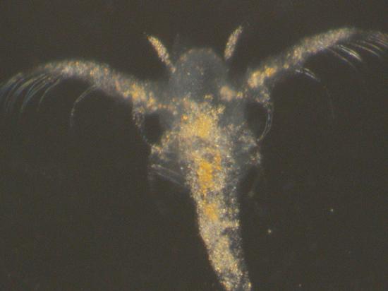 Ученым удалось повторить в лаборатории природный процесс окаменения рачков