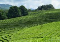 В Сербию отправили первую партию сочинского чая