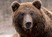 Один из самых мощных антибиотиков, известных ученым -  амикумацин, обнаружили в пасти дикого сибирского медведя, а после создали его синтетический аналог ученые из  Института биоорганической химии им