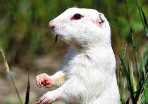 Альбиноса из калмыцкой степи назвали Белым Старцем