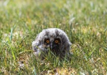 Госинспекторы спасли птенцов ушастой совы на Ставрополье