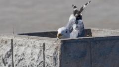 На парковке петрозаводского гипермаркета гнездятся чайки