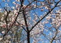 Время цветения вишни наступило в Хабаровске