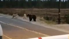Медвежонок вышел к месторождению в ЯНАО