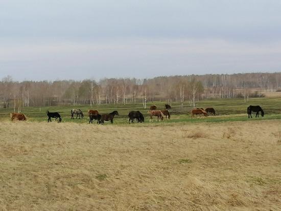 В Челябинской области мужчина похитил табун лошадей